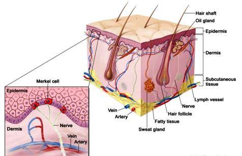merkel cells