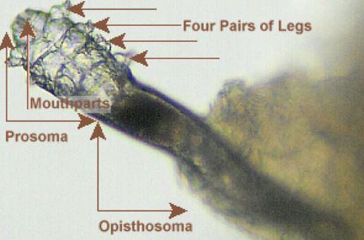 Demodicosis mite parts